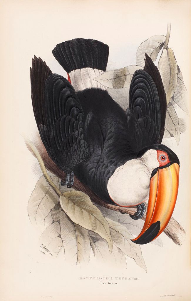 Detail of Toco Toucan by Edward Lear