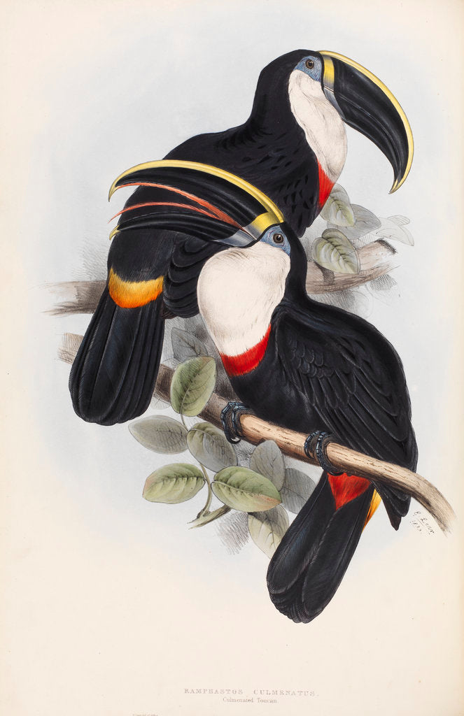 Detail of Culmenated Toucan by Edward Lear