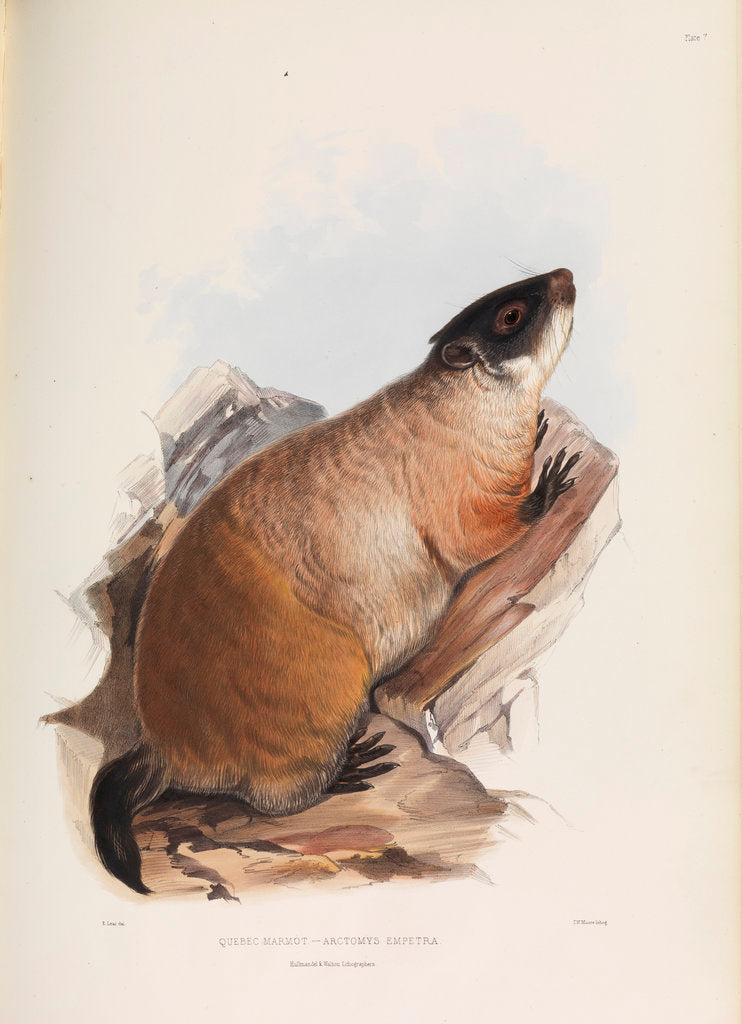 Detail of Quebec Marmot by I W Moore