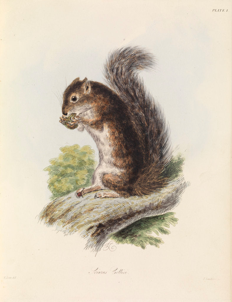 Detail of Mexican tree squirrel by Thomas Landseer