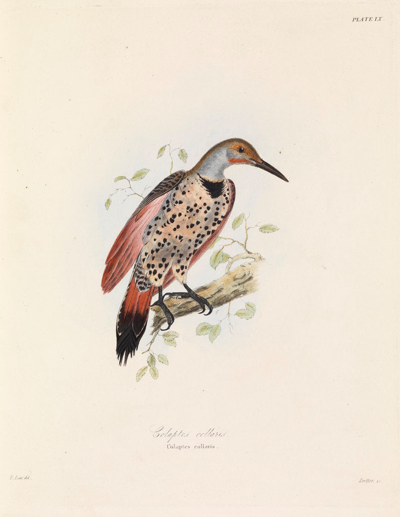 Detail of Red-shafted Flicker by John Christian Zeitter