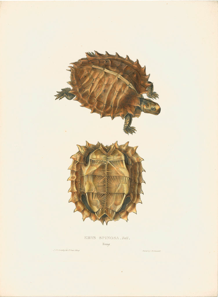 Detail of Spiny Turtle by J D C Sowerby