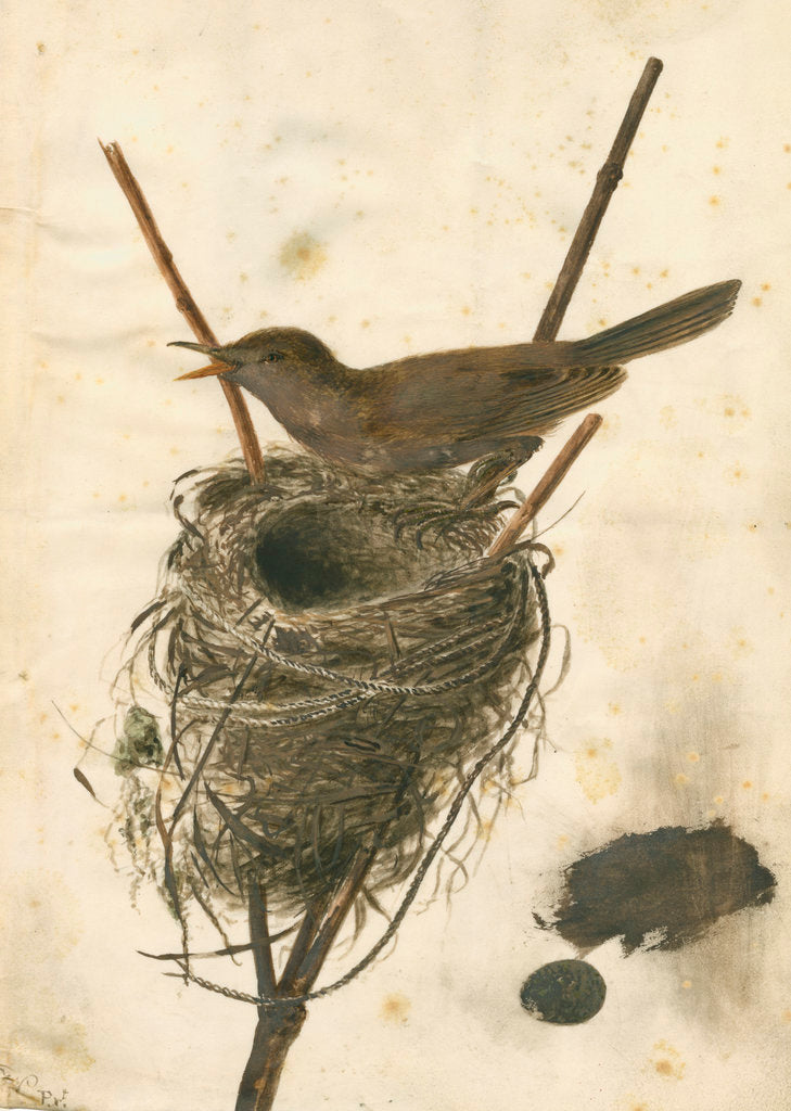 Detail of Great Reed Warbler and its nest by Anonymous