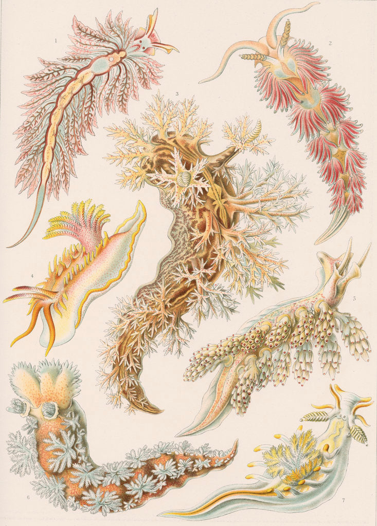 Detail of 'Nudibranchia' [marine molluscs] by Adolf Giltsch