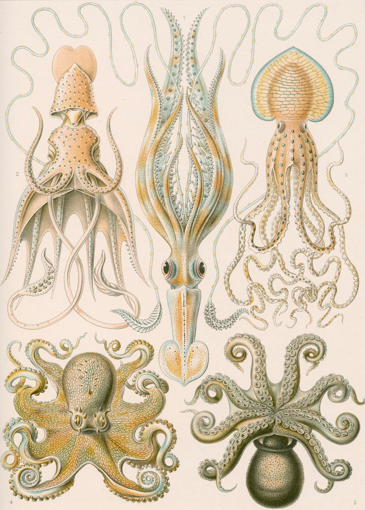 Detail of 'Gamochonia' [octopus and squid] by Adolf Giltsch