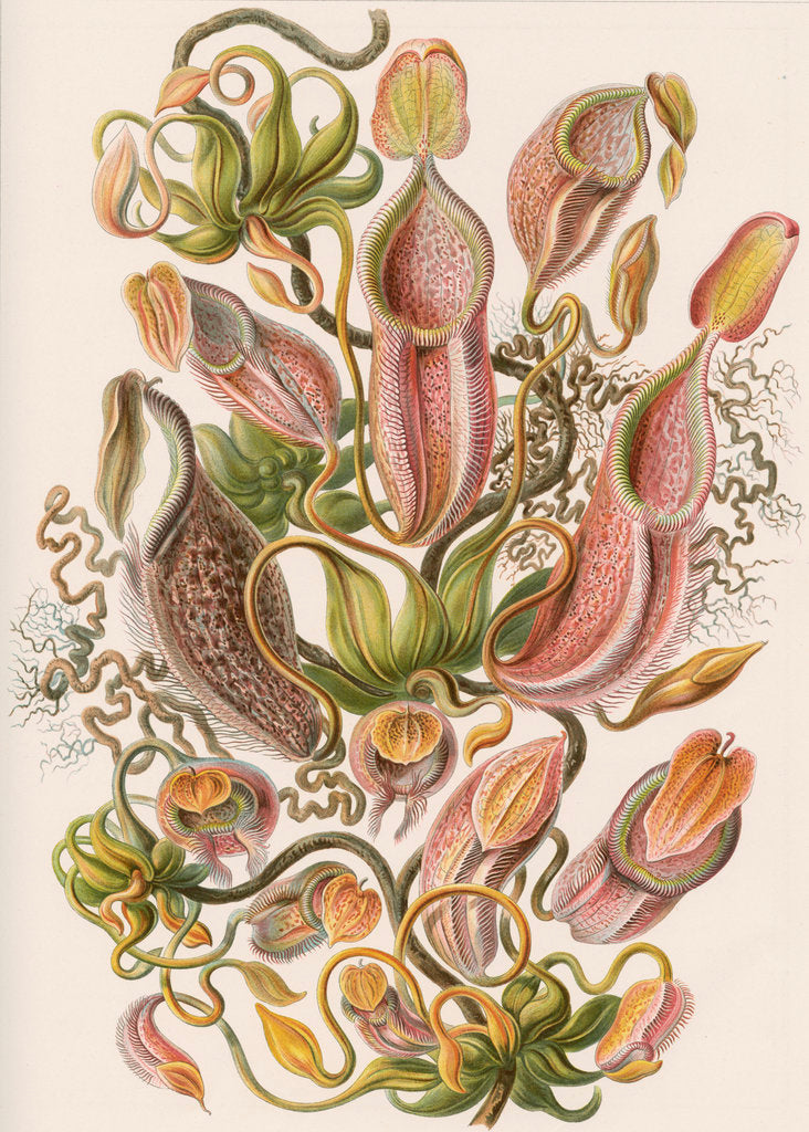 Detail of 'Nepenthaceae' [pitcher plant] by Adolf Giltsch