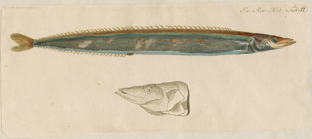 Detail of 'L'Ammodite' [Lesser sand eel] by Anonymous