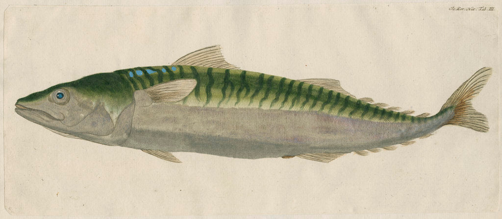 Detail of 'Le Maquereau' [Atlantic mackerel] by Anonymous