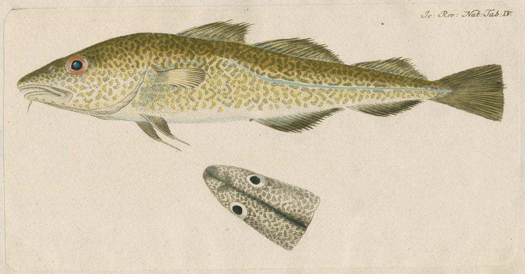 Detail of 'Le Torsk' [juvenile Atlantic cod?] by Anonymous