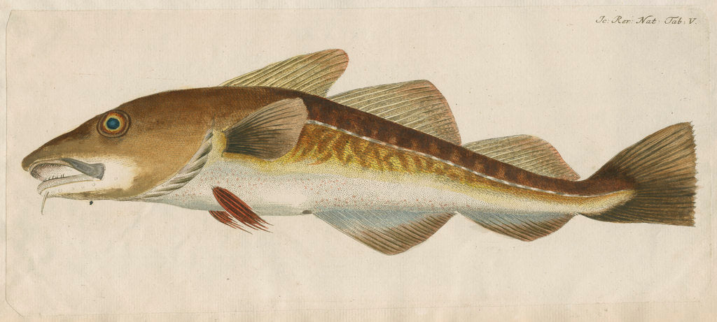 Detail of 'Le Titling' [adult Atlantic cod?] by Anonymous
