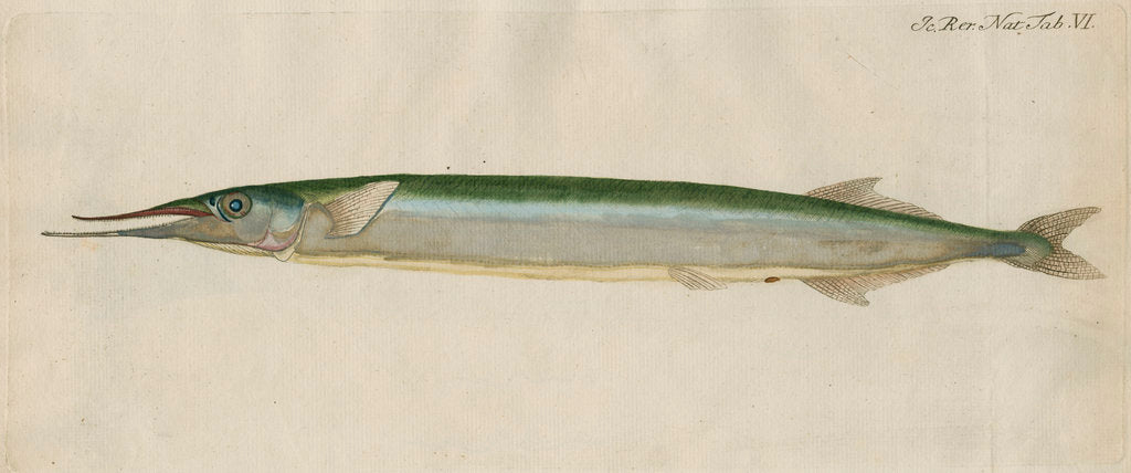 Detail of 'L'Orphie' [Garfish by Anonymous