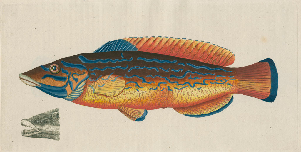 Detail of 'Le Paon Bleu' [Cuckoo wrasse] by Anonymous