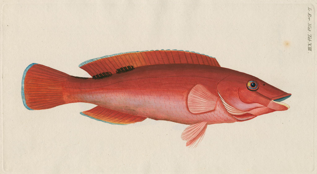Detail of 'Paon Rouge' [Cuckoo wrasse] by Anonymous