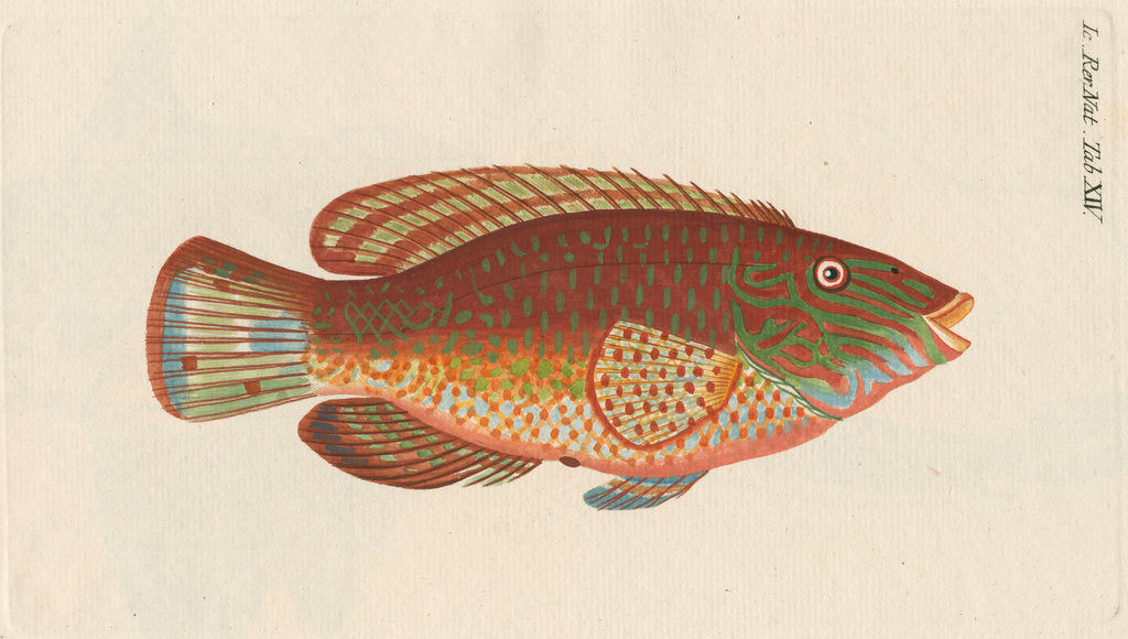 Detail of 'Le Rone, ou la Carousse de Mer' [Corkwing wrasse] by Anonymous
