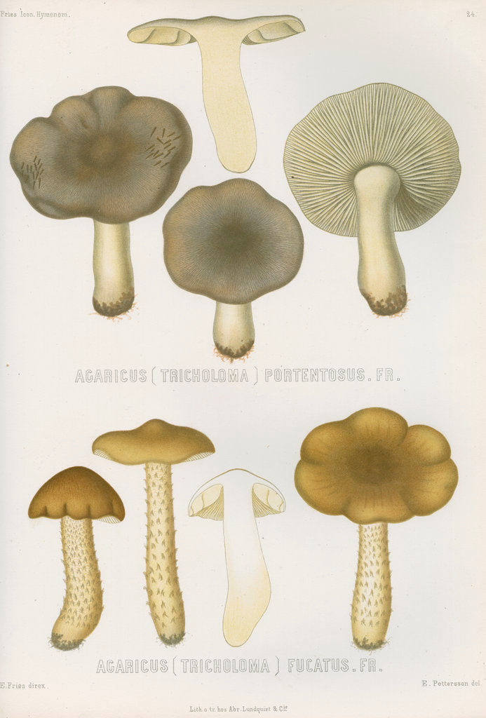 Detail of 'Agaricus (Tricholoma) Portentosus' [Dingy Agaric mushroom] and 'Agaricus (Tricoloma) Fucatus' by Abraham Lundquist & Company