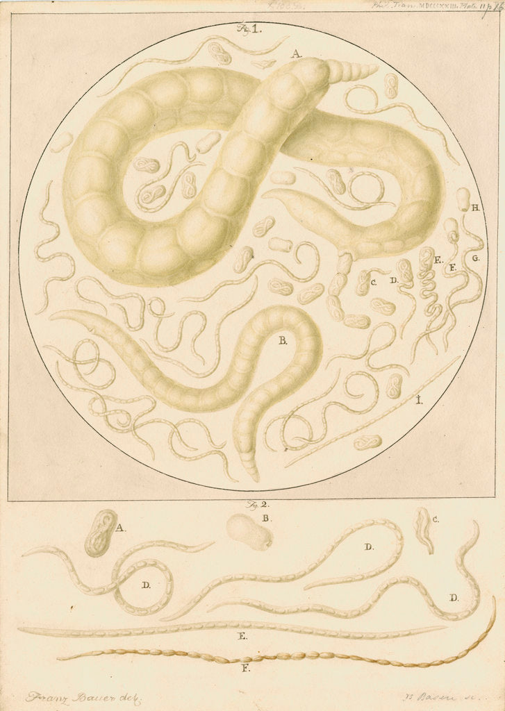 Detail of Vibrio tritici nemotode worms by Franz Andreas Bauer
