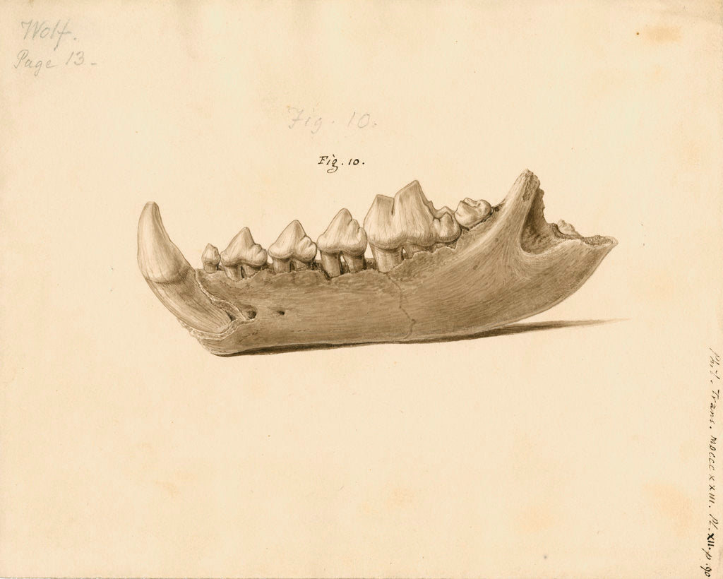 Detail of Fossil wolf jaw by William Clift