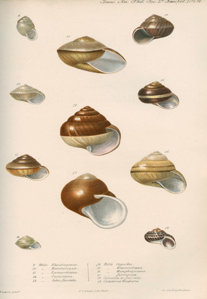 Detail of Land snail shells by Peter S Duval