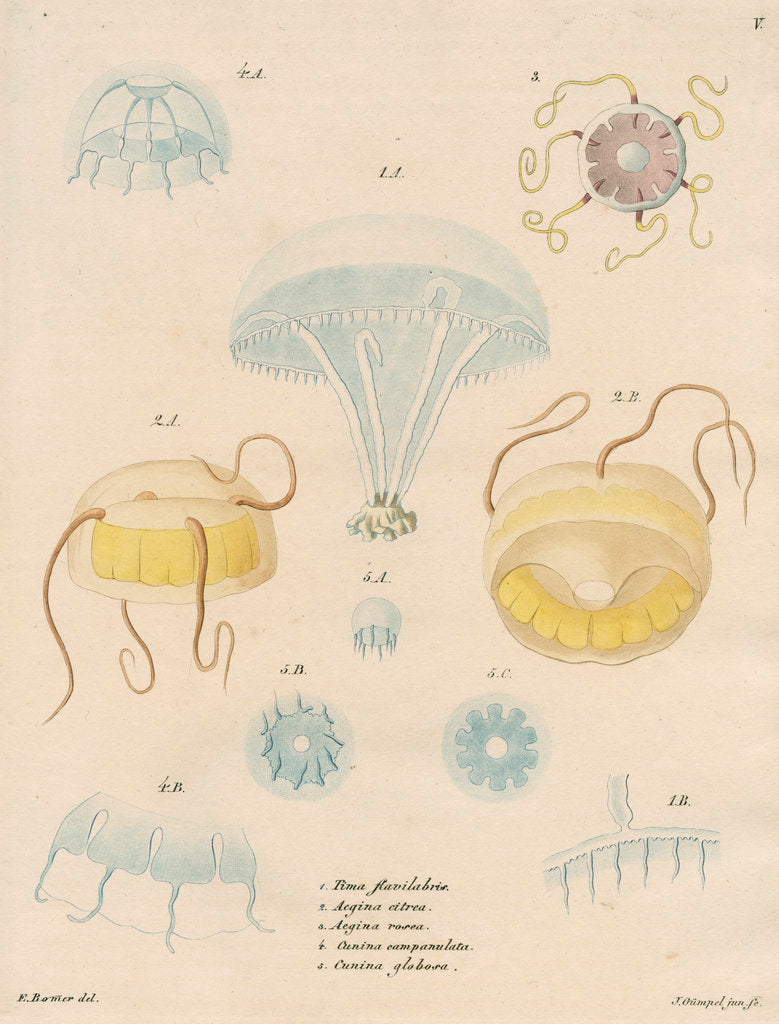 Detail of Five specimens of hydrozoa by J Gumpel junior