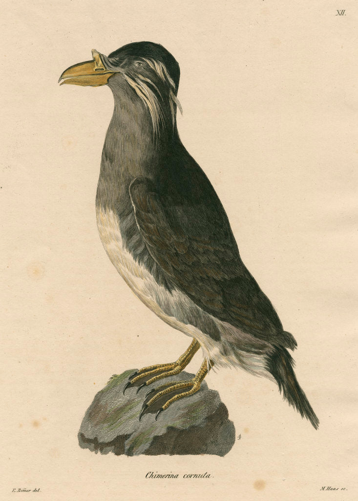 Detail of 'Chimerina cornuta' [Rhinoceros auklet] by Meno Haas