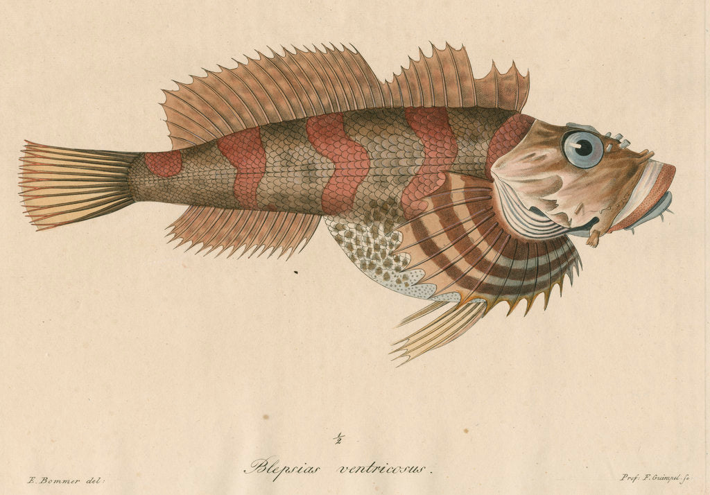 Detail of 'Blepsias ventricosus' [Red Irish Lord fish] by Friedrich Guimpel