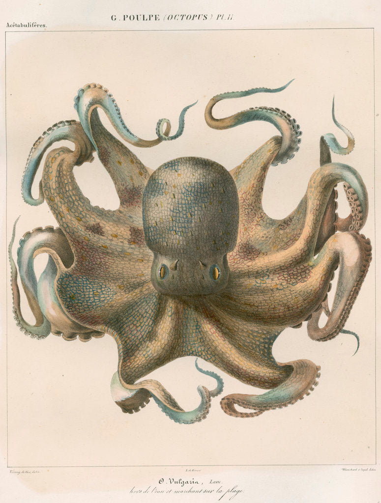Detail of 'Octopus vulagaris' [Common octopus] by Antoine Toussaint de Chazal