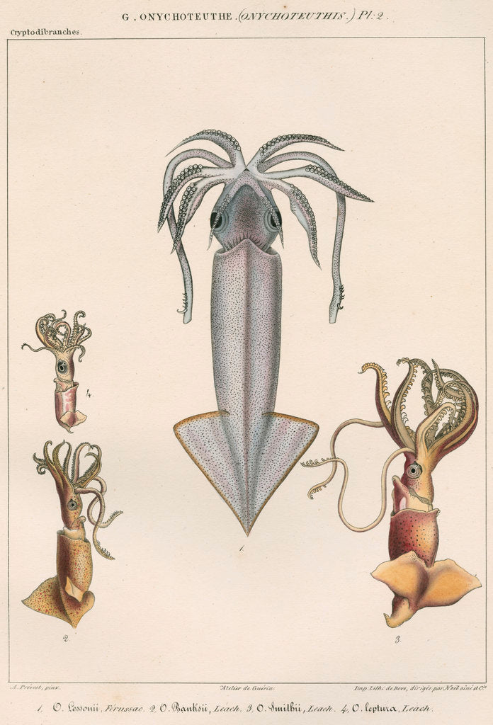 Detail of Studies of four varieties of squid by Benard