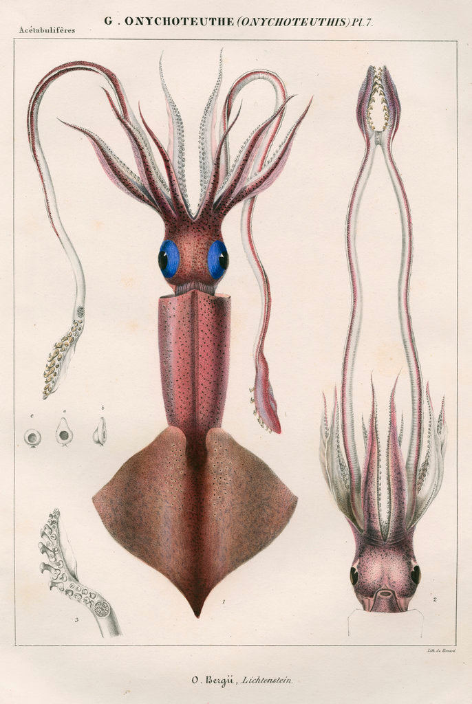 Detail of 'Onychoteuthe bergii' [Clubhook squid] by Benard