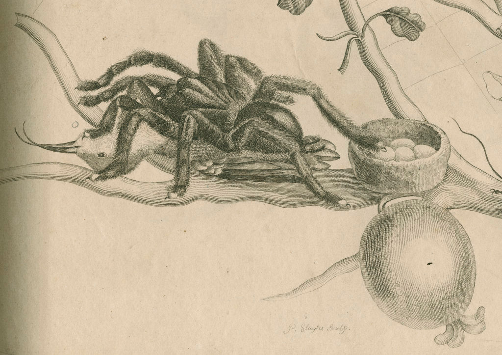 Detail of 'Bird-eating spider with humming bird' by Joseph Mulder