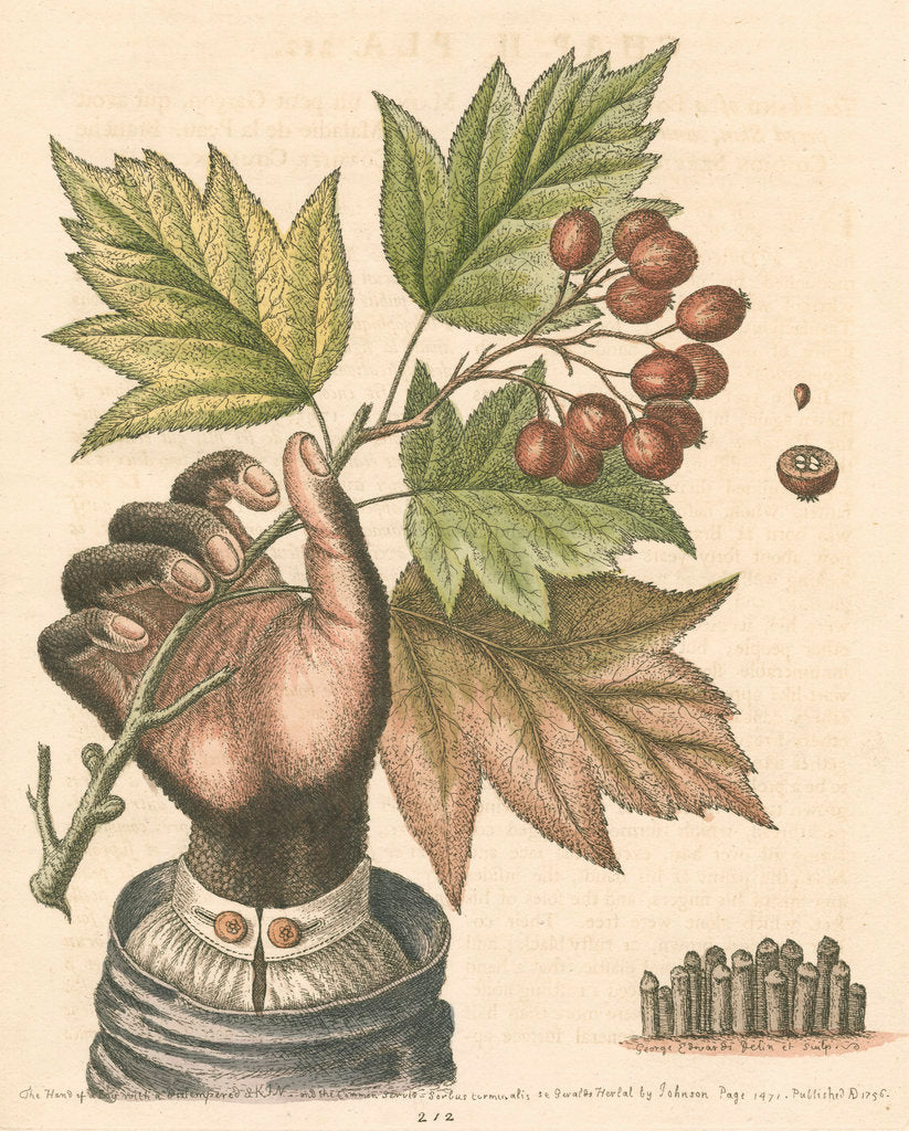 Detail of 'The hand of a boy with a distempered skin, and a branch of the common Service Tree' by George Edwards