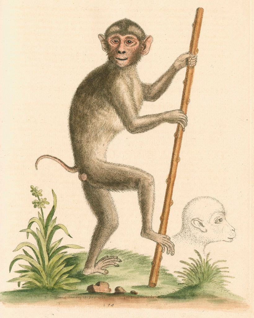 Detail of 'The pig-tailed monkey from the Island of Sumatra...' [Pig tailed macaque] by George Edwards