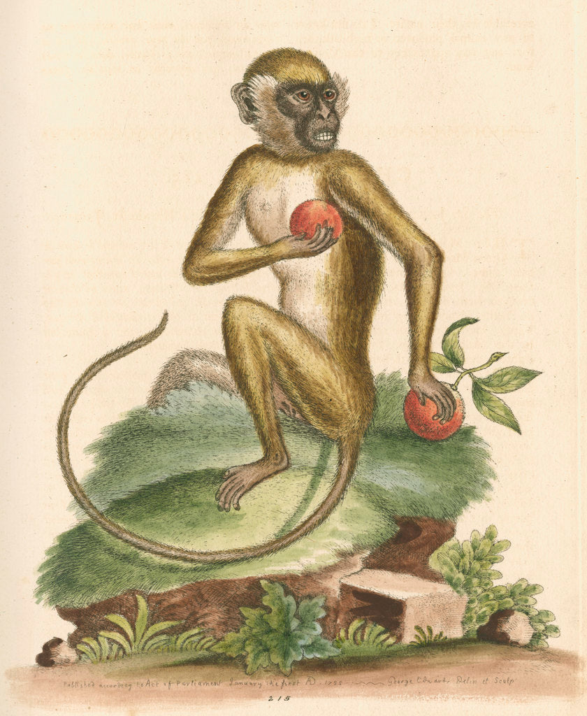 Detail of 'The St Jago monkey' [Green monkey] by George Edwards