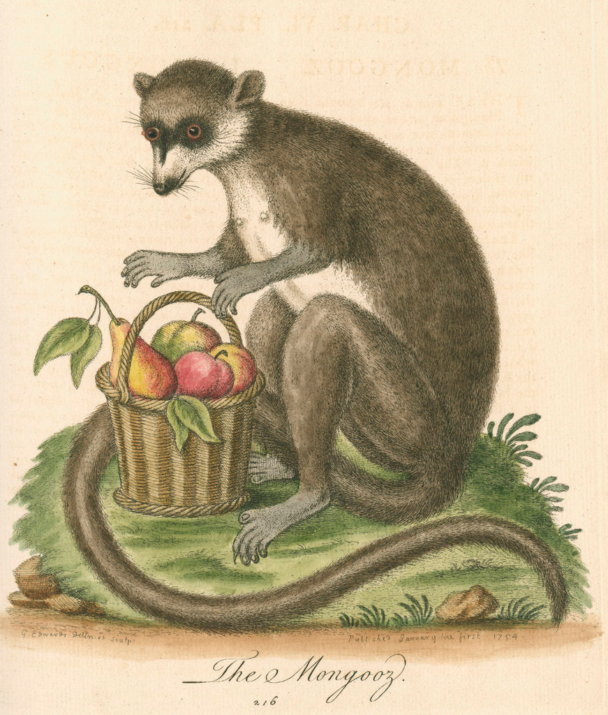 Detail of 'The Mongooz' [Lemur] by George Edwards