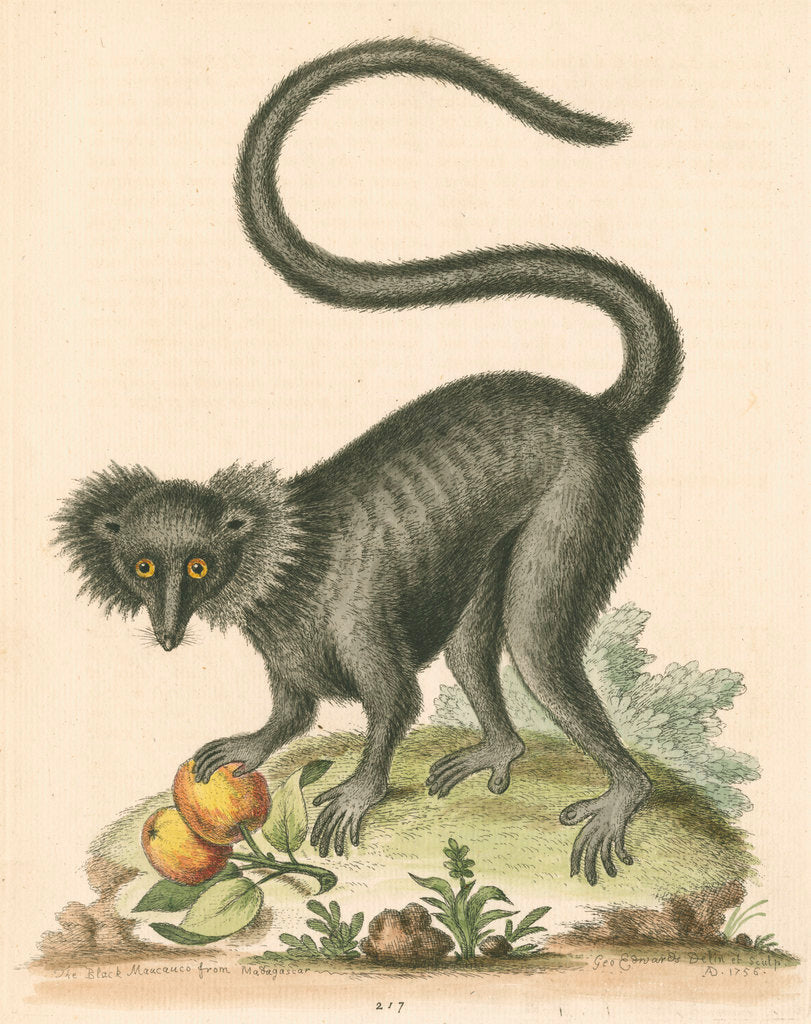 Detail of 'The Black Maucauco' [Black lemur] by George Edwards