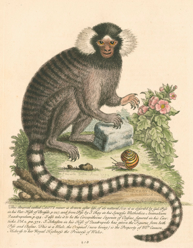Detail of 'The Sanglin, or Cagui minor' [Common marmoset] by George Edwards