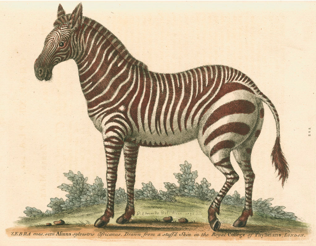 Detail of 'The male Zebra' by George Edwards