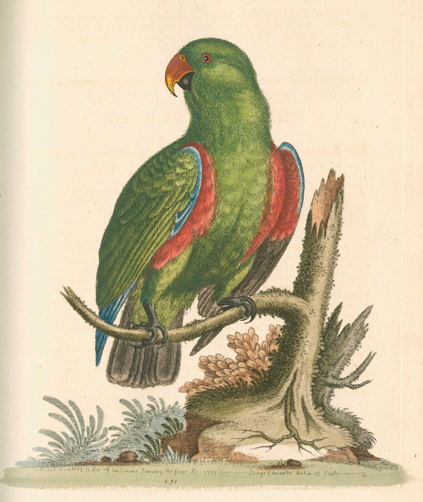 Detail of 'The Green and Red Parrot from China' by George Edwards