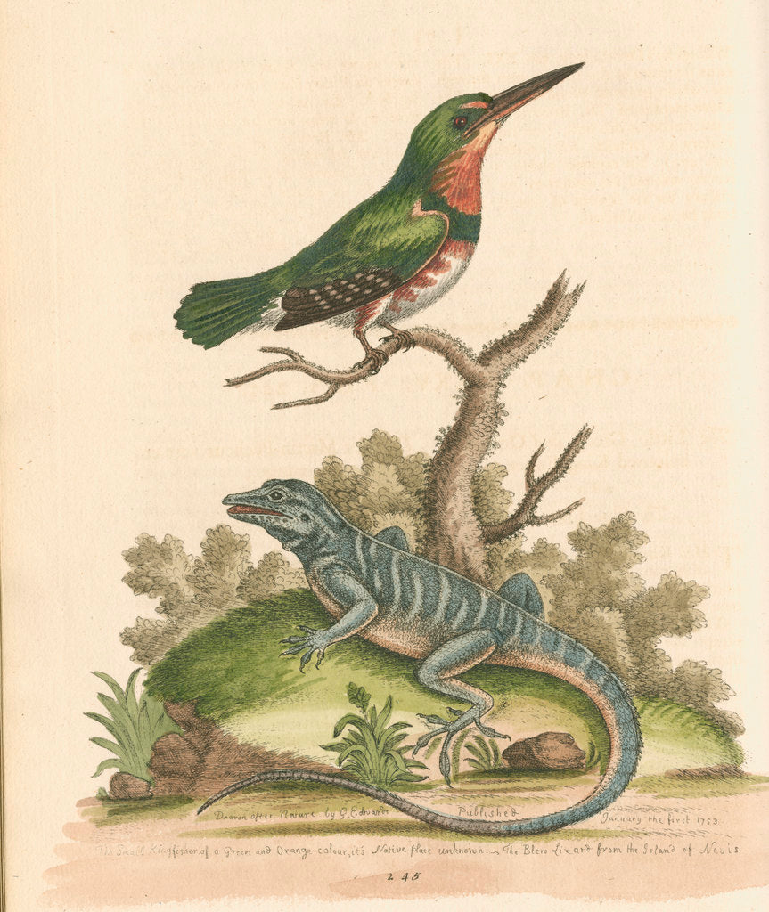 Detail of 'The Little Green and Orange-coloured King-Fisher; and the Blue Lizard' by George Edwards