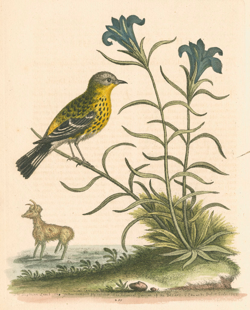 Detail of 'The Yellow-rumped Fly-catcher, and the Gentian of the Desert' by George Edwards