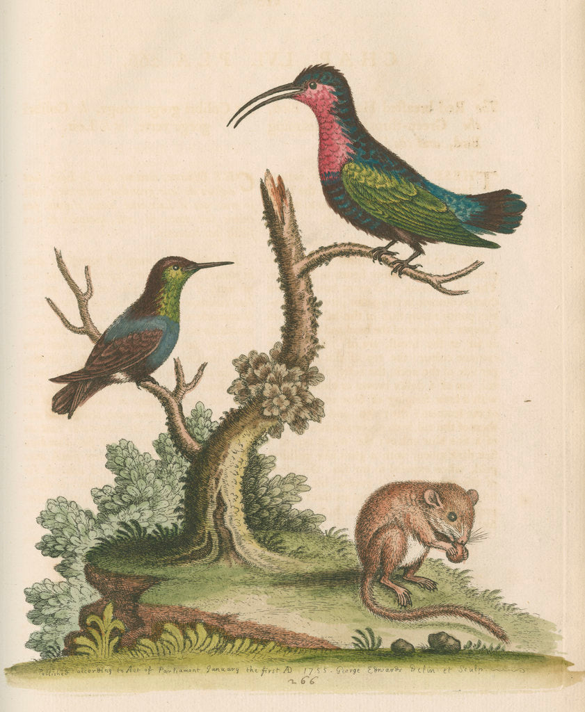 Detail of 'The Red-breasted Humming Bird, the Green-throated Humming Bird, and the Dormouse' by George Edwards