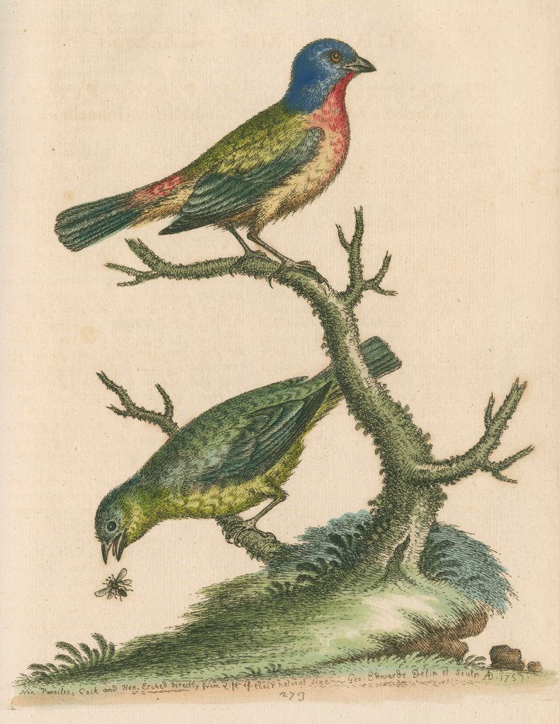 Detail of 'The Painted Finch, Cock and Hen' [Painted bunting] by George Edwards
