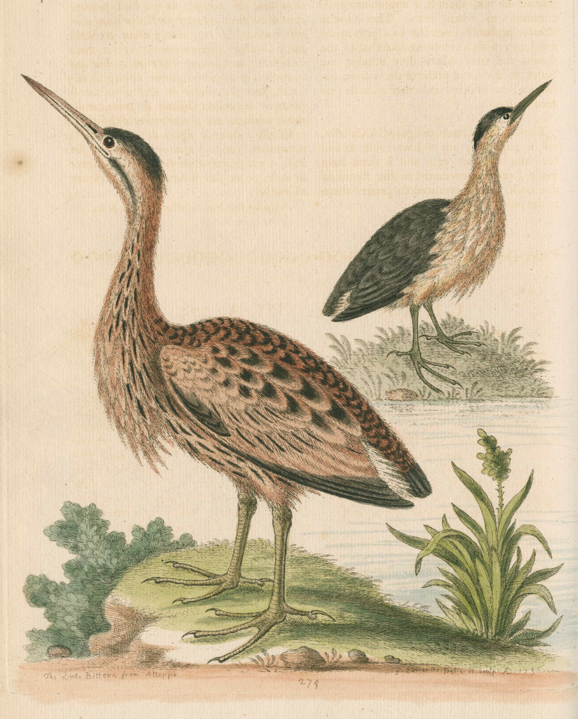 Detail of 'The Little Brown Bittern' by George Edwards