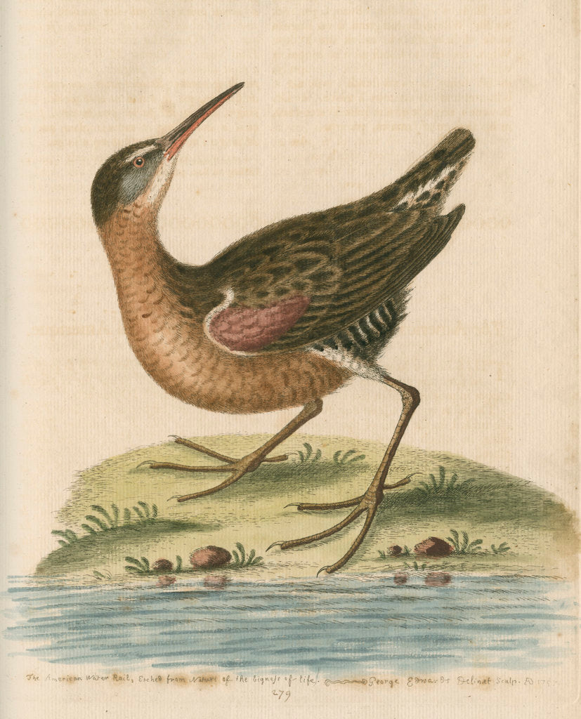 Detail of 'The American Water-Rail' [Virginia rail] by George Edwards