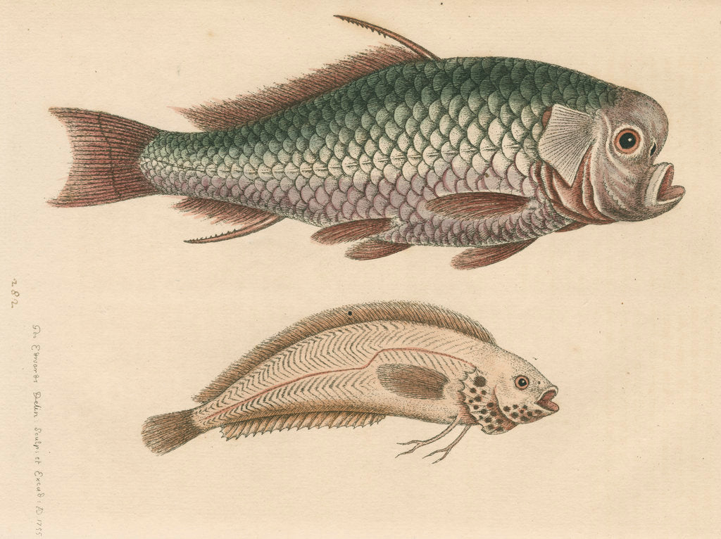 Detail of 'The Spur-Fish; and the Indian Gattorugina' by George Edwards