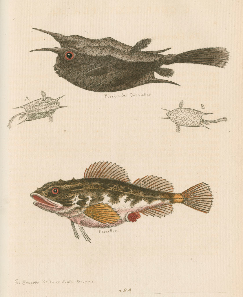 Detail of 'The Horned Fish; and the Sea Scorpion' [Longhorn cowfish and Short-spined sea scorpion] by George Edwards