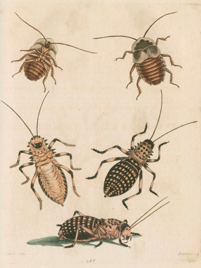 Detail of 'The Greater Cockroach; and the Whistle Insect' by Cornelius Heinrich Hemerich