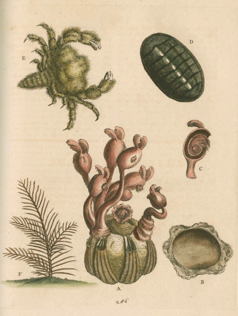 Detail of 'The Balanus of the Whale with Polypes, the Limax Marina, the Hairy Crab, and the Herringbone Coralline by George Edwards