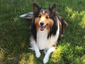 Nixon the Sheltie