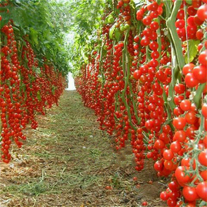 Novel Tomato Seeds 200 Pcs