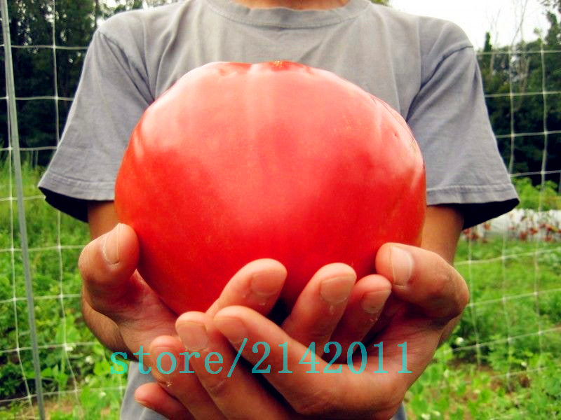 Giant Red Tomato Seeds - 100 pcs